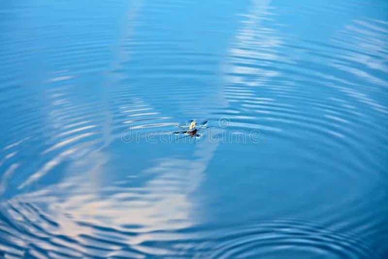 Wasser strider auf Wasser Kräuselungen in der Wasseroberfläche stockbilder