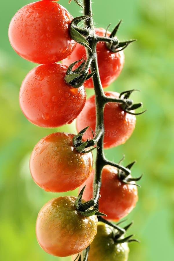 Wasser-Tröpfchen auf Tomatenpflanze stockfoto