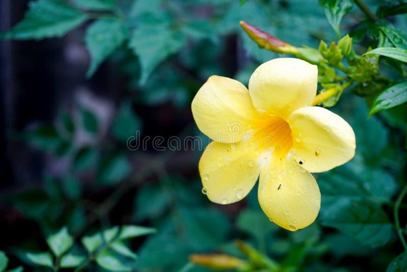 Wasser-Tropfen auf Allamanda-Blume stockbilder