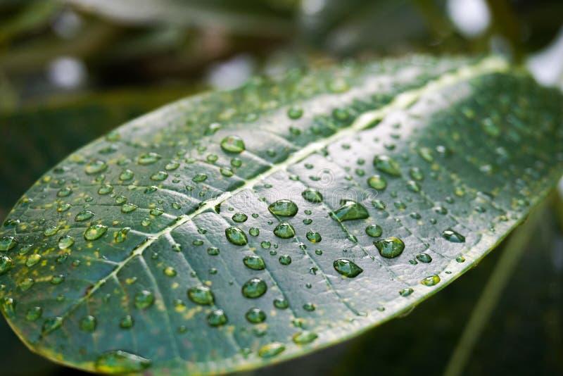 Wasser-Tropfen auf Plumeria-Blatt stockfotos