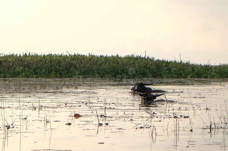 Wasserbüffel lizenzfreie stockfotografie