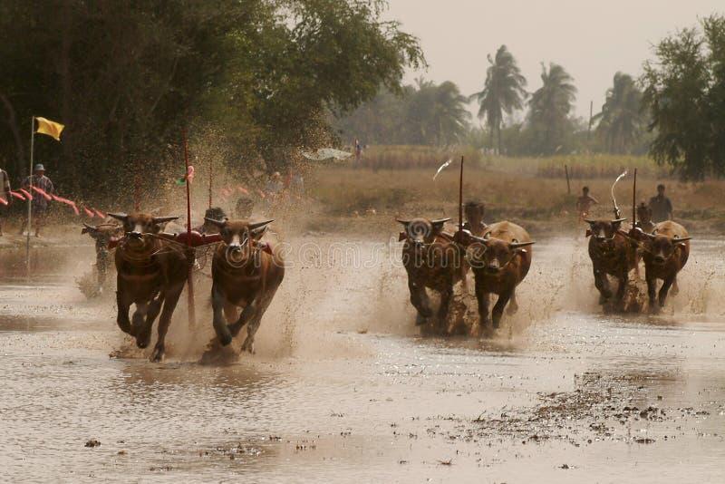Wasserbüffel, der in Thailand läuft lizenzfreie stockbilder