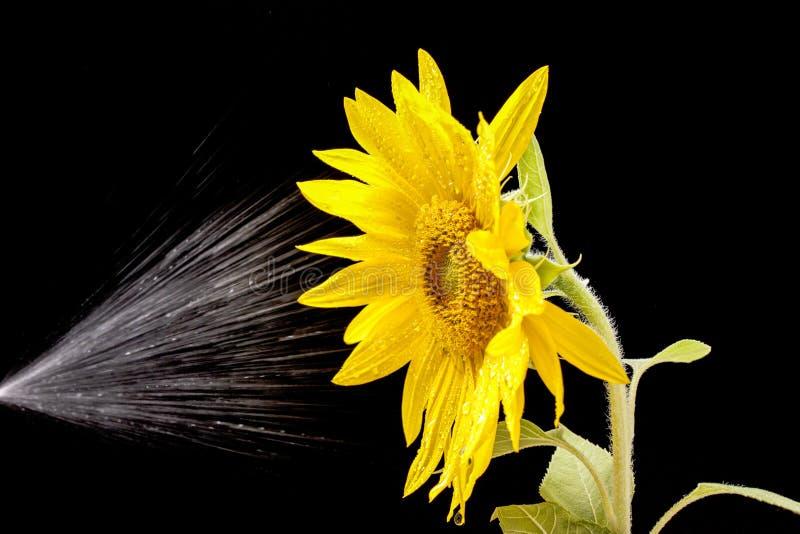 Wasserbesprengt auf Sonnenblume lizenzfreie stockfotos