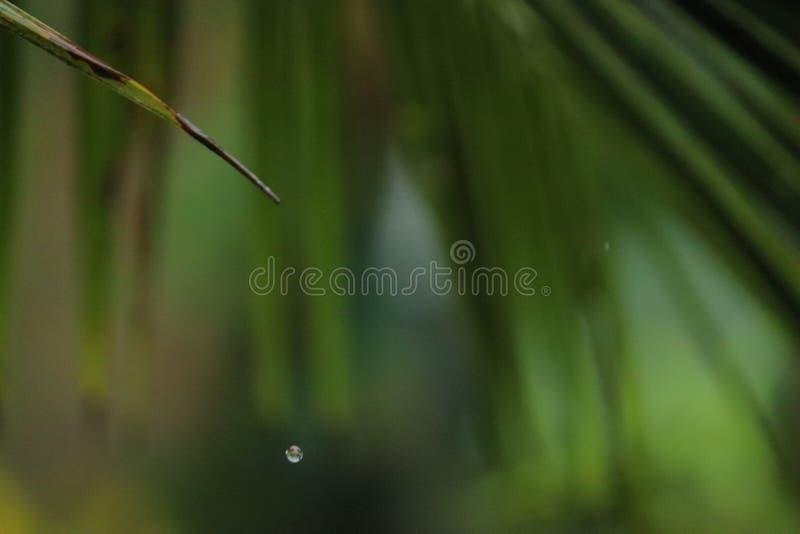 Wasserbratenfett von einem einzelnen grünen Blatt eines Kokosnussbaums lizenzfreie stockbilder