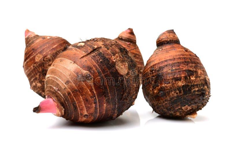 Wasserbrotwurzel ist Nährstoff-reiche Nahrungsmittel und kann gekocht werden vielen unterschiedlichen Arten Dieses ist eine Wasse stockfotografie