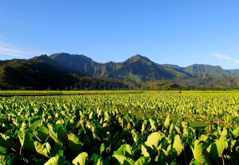 Wasserbrotwurzelfeld in Kauai Hawaii lizenzfreies stockfoto
