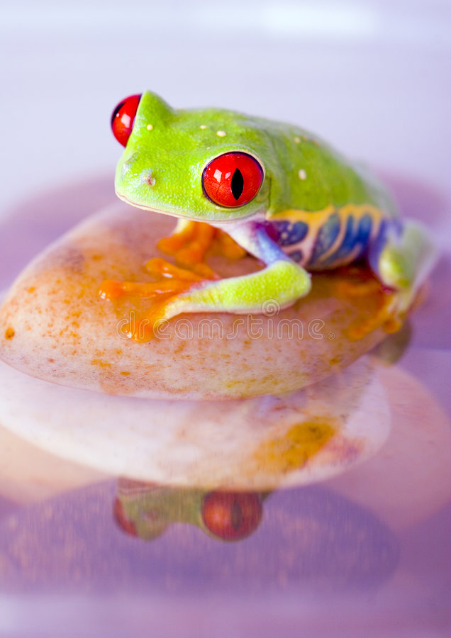 Wasserfrosch stockbilder