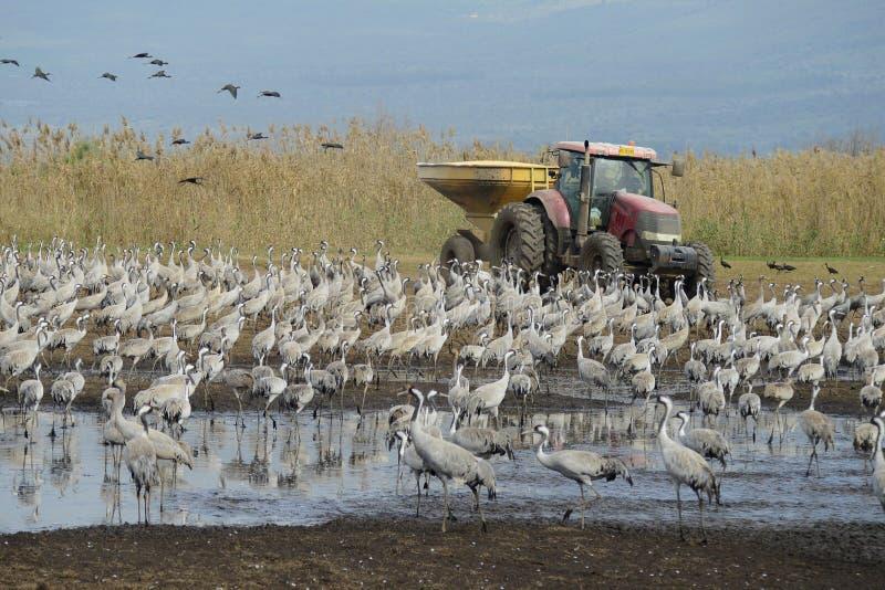 Wasserkranvögel in Agamon Hula stockbilder