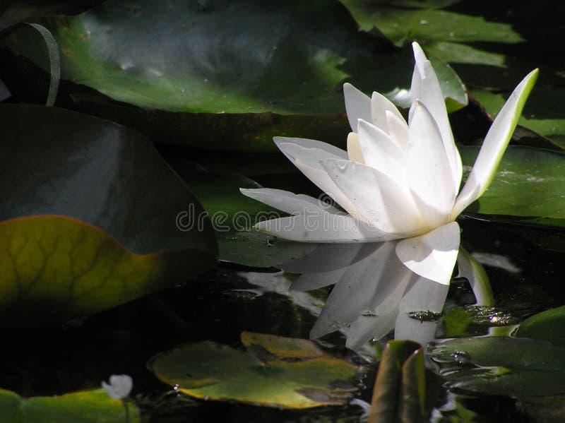 Wasserlilie Im Teich Lizenzfreie Stockfotografie