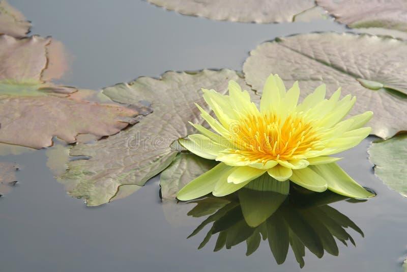 Wasserlilie und -es sind Reflexion lizenzfreie stockbilder