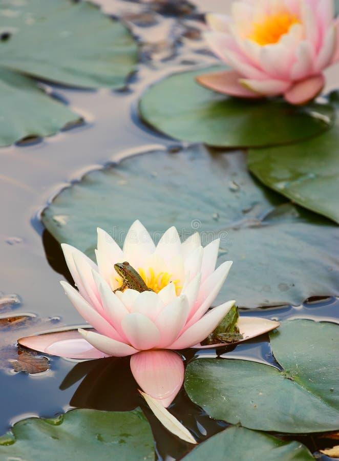 Wasserlilie und -frosch stockfoto