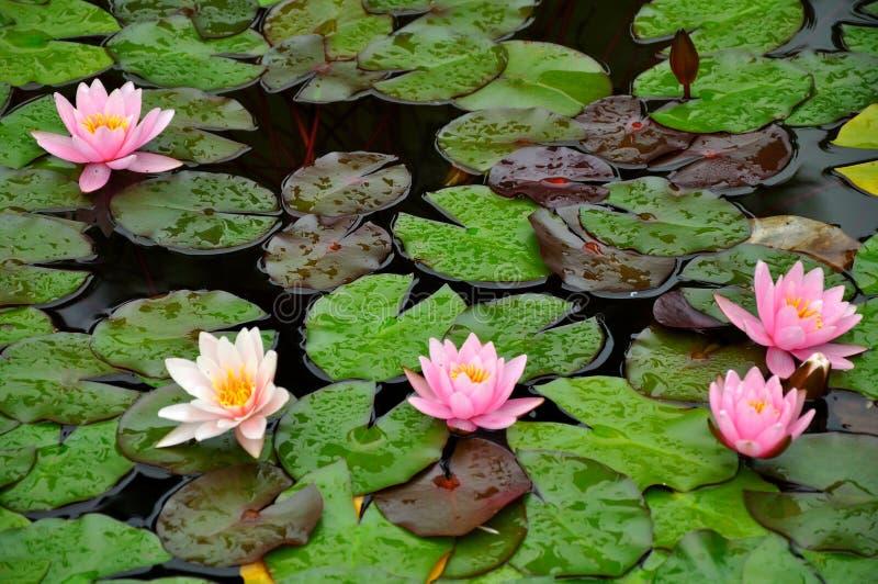 Wasserlilien auf einem Teich stockfoto