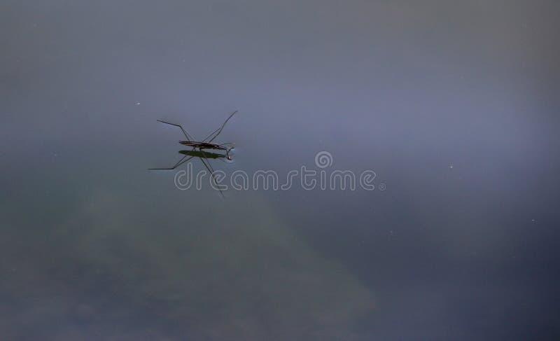 Wassermann elongatus auf Wasser lizenzfreie stockbilder