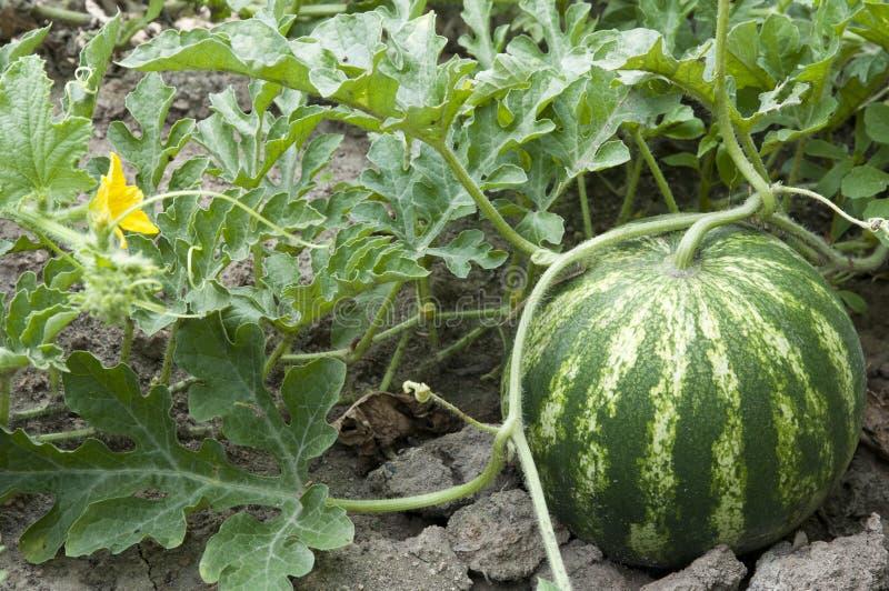 Download Wassermelone stockbild. Bild von melone, städtisch, lebensstil - 20988949