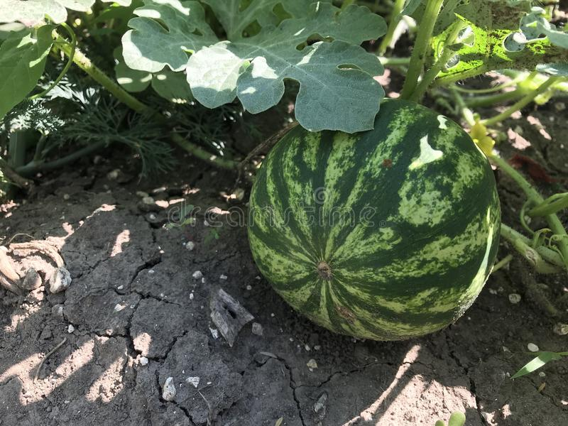 Wassermelone, die auf dem Gebiet wächst lizenzfreie stockfotos