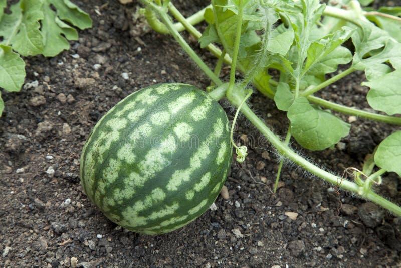 Wassermeloneanlage lizenzfreie stockfotografie