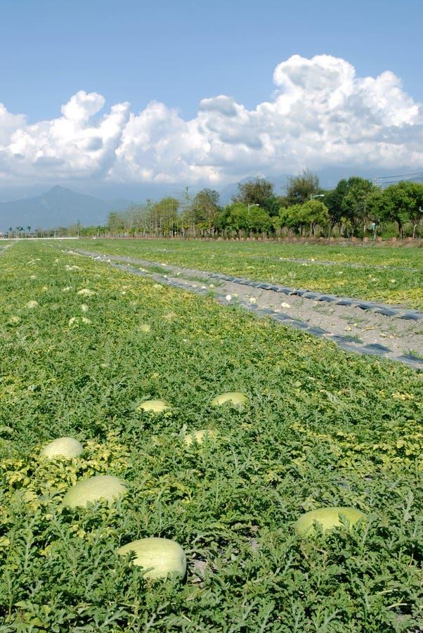 Wassermelonebauernhof stockfotografie