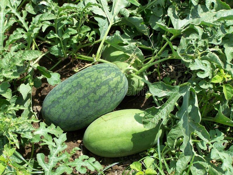 Wassermelonefamilie lizenzfreie stockfotografie