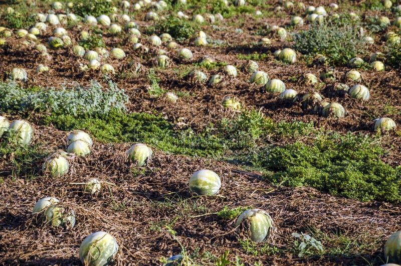 Wassermelonenfeld stockfotografie