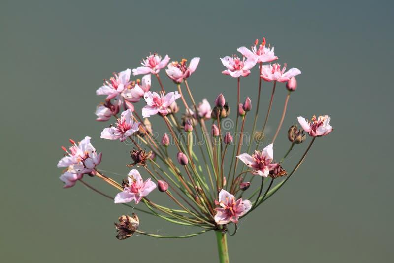 Butomus Blume lizenzfreie stockfotografie
