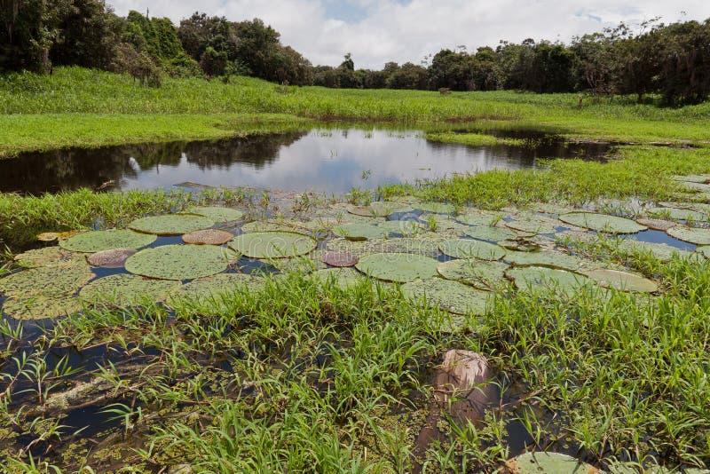 Wasserpflanzen Manaus lizenzfreies stockbild
