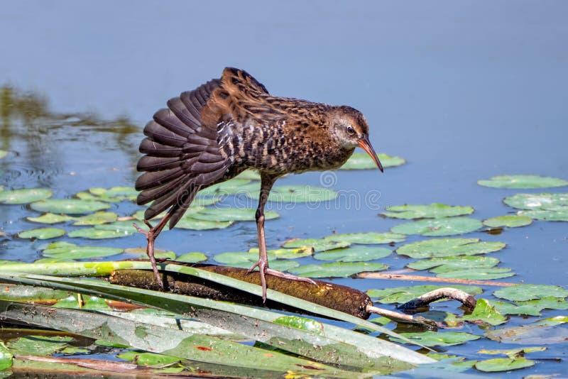 Wasserralle, die seinen Flügel, Worcestershire, England ausdehnt lizenzfreies stockbild