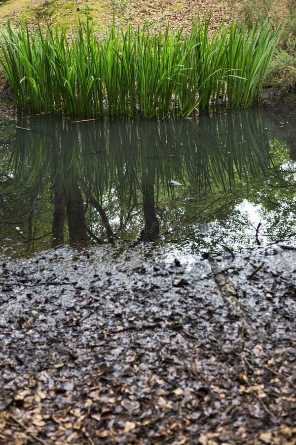 Wasserreedanlage stockfoto