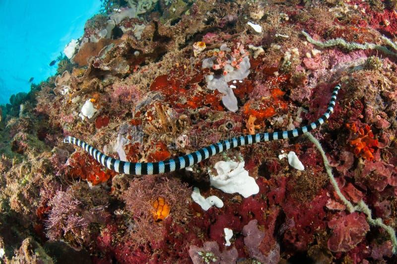 Wasserseeschlange (Laticauda-Colubrina) schwimmt über den verschiedenen und bunten Korallen seine genannten Seakraits lizenzfreies stockfoto