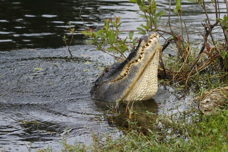 Wassertanzen des amerikanischer Alligator (Mississipi-Alligator) herein lizenzfreie stockfotos
