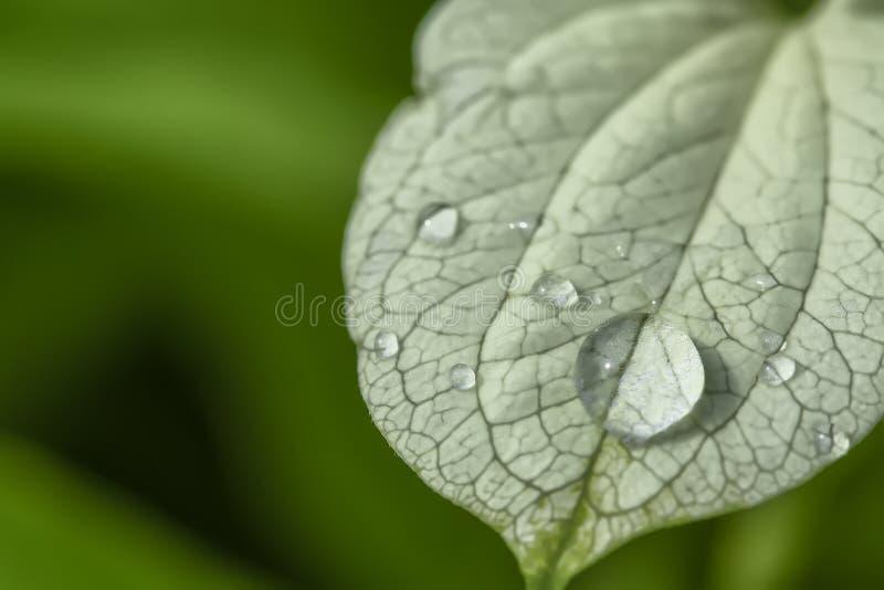 Wassertröpfchen auf Blättern lizenzfreies stockbild