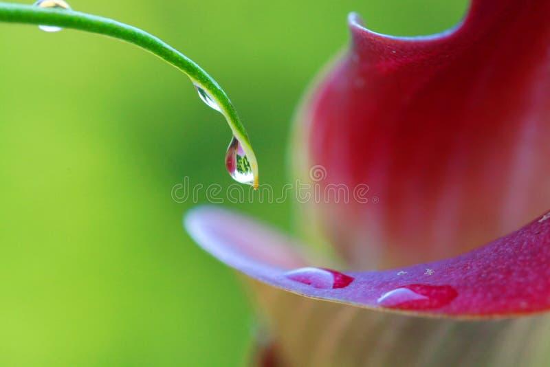 Wassertröpfchen auf Calla stockfotos