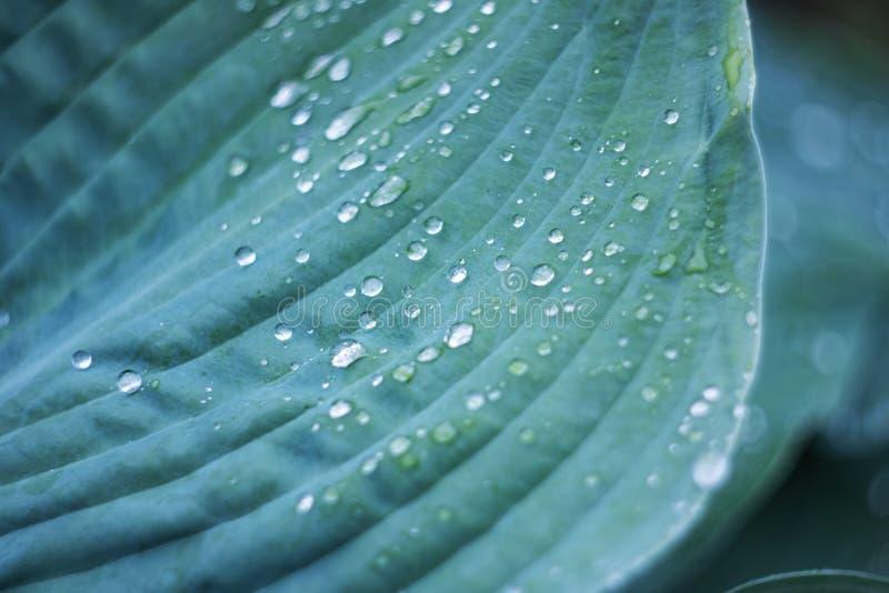 Wassertröpfchen auf einem großen grünen Blatt einer Anlage lizenzfreie stockfotos