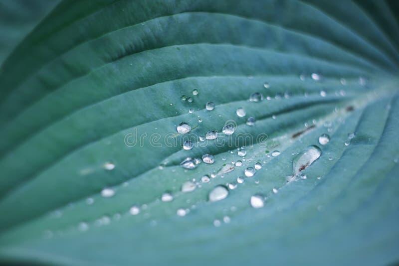 Wassertröpfchen auf einem großen grünen Blatt einer Anlage lizenzfreie stockbilder