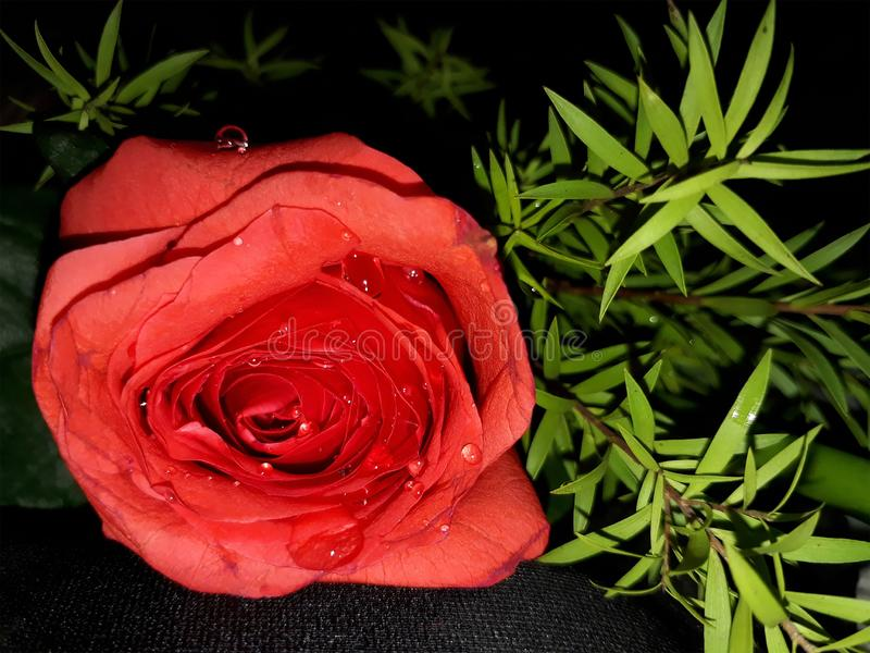 Wassertr?pfchen auf roter Rose stockfoto
