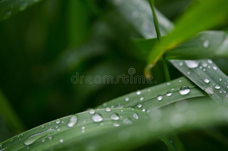 Wassertropfen auf dem gr?nen Gras Gr?nes Blatt mit einem gro?en Wassertropfen lizenzfreies stockfoto