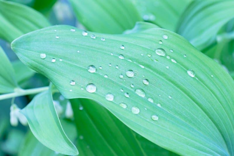 Wassertropfen auf gr?nen Bl?ttern nach Regen, nat?rlicher Biogartenhintergrund des gr?nen Laubs stockbild