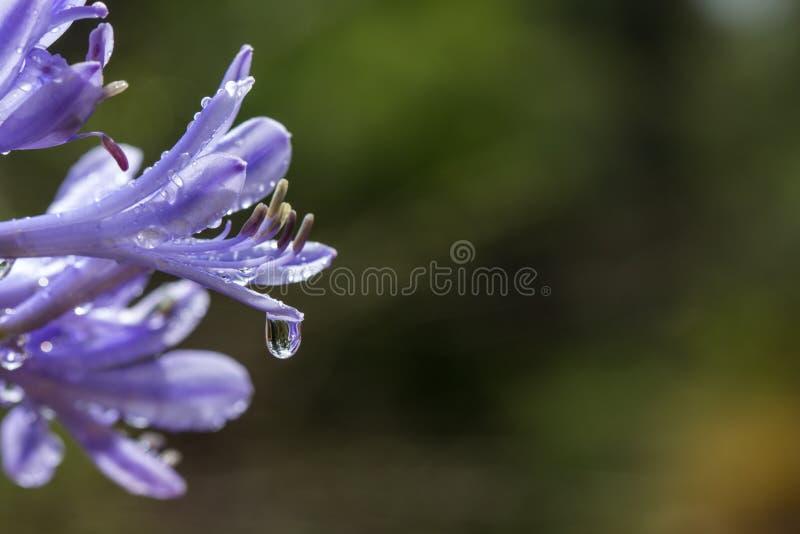 Wassertropfen, der vom Blumenblatt hängt stockfoto