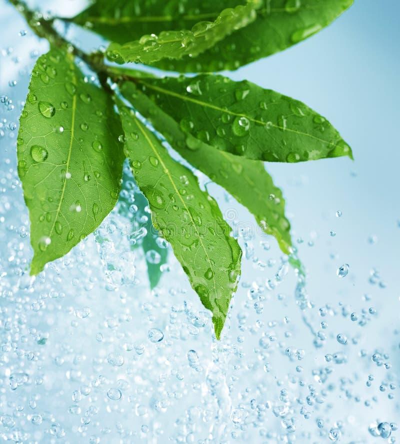 Wassertropfen und frische grüne Blätter lizenzfreie stockfotografie