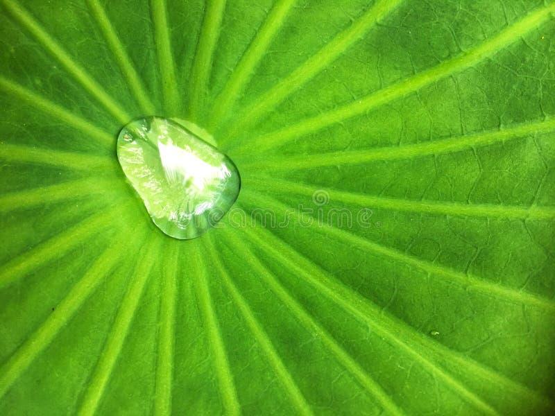 Wassertropfen und -laderaum auf Blatt-Beschaffenheitshintergrund des Colocasia essbarem großem grünem lizenzfreies stockbild