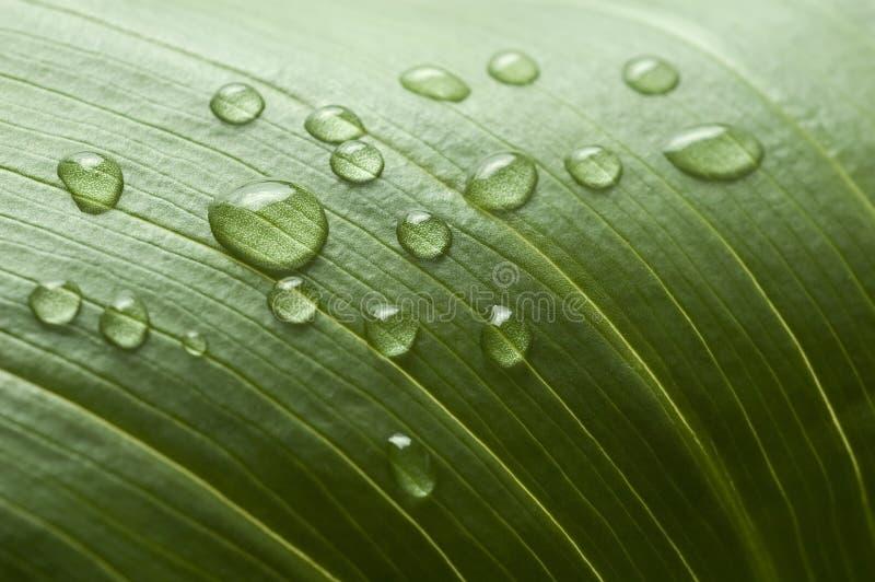 Wassertropfen von einem Blatt stockbild