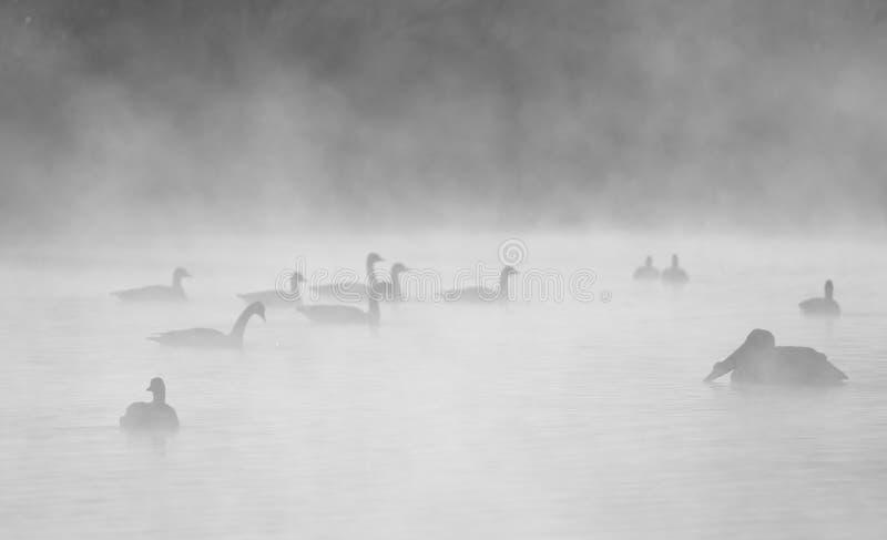 Wasservögel auf einem Misty-See lizenzfreie stockfotos