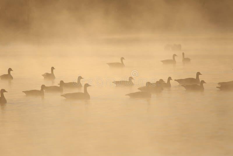Wasservögel auf einem Misty-See lizenzfreie stockbilder