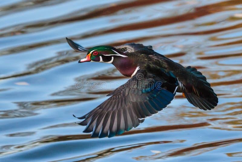 Wasservögel von Colorado Hölzerne Ente im Flug lizenzfreie stockfotos