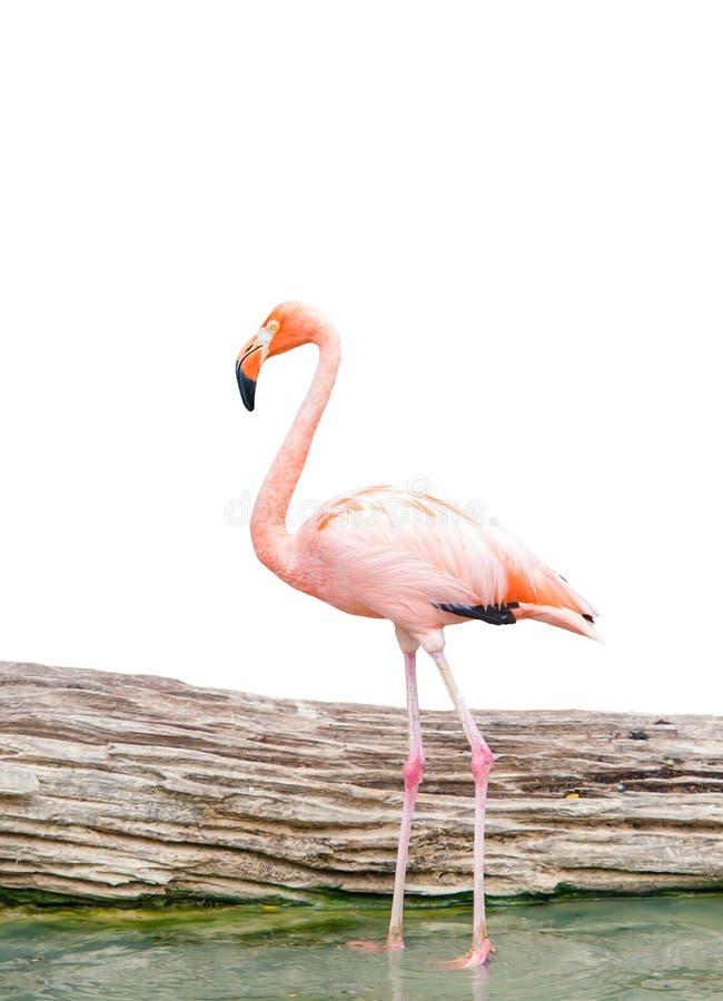 Wasservogel des Flamingos stockbilder