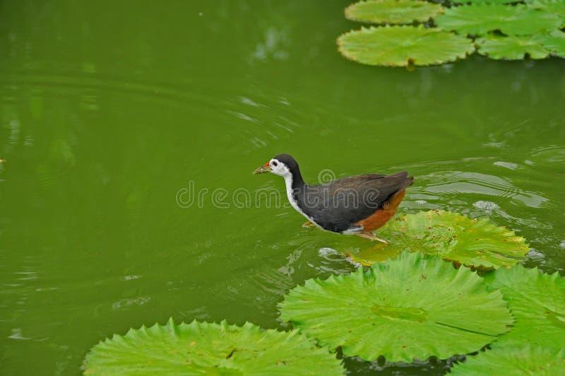 Wasservogel und -Seerose im Teich