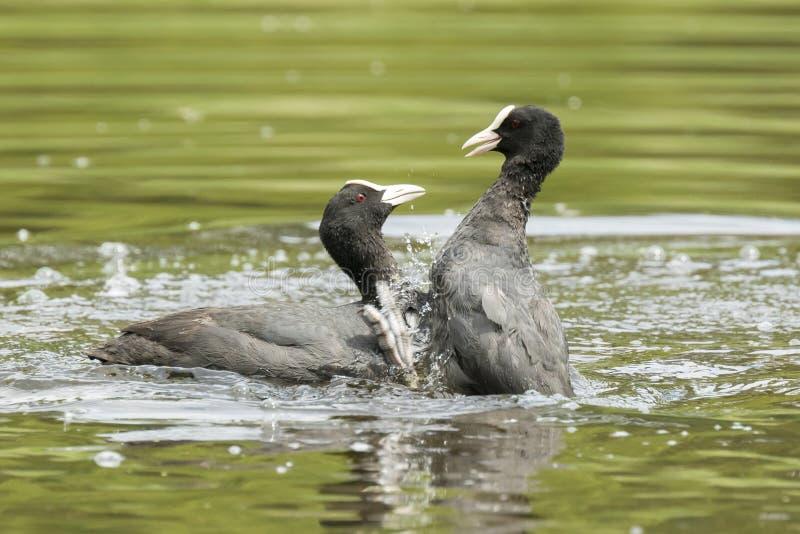 Wasservogelkampf lizenzfreie stockbilder