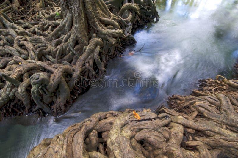 Wasserwald wurzelt Wasserfallbaum stockbild