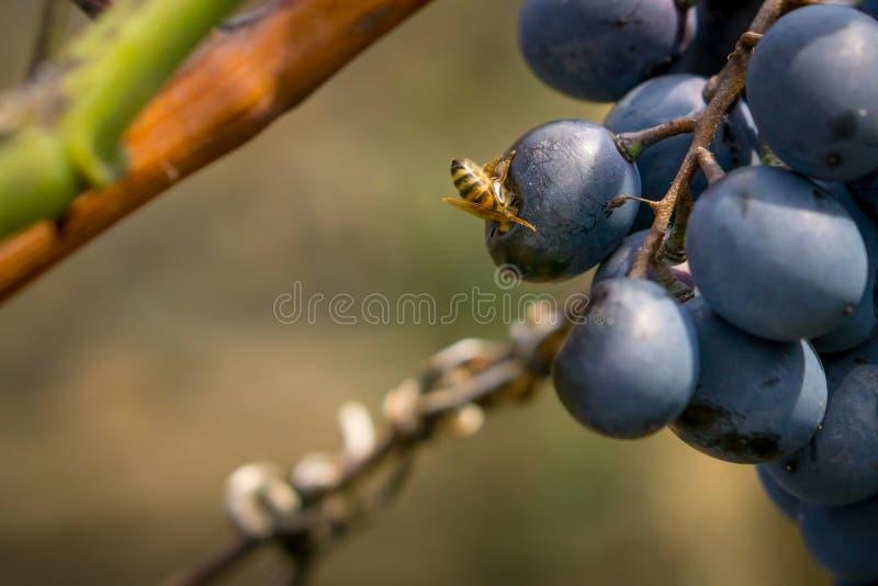 Wast je winogrona Głowa osa w winogronie fotografia royalty free
