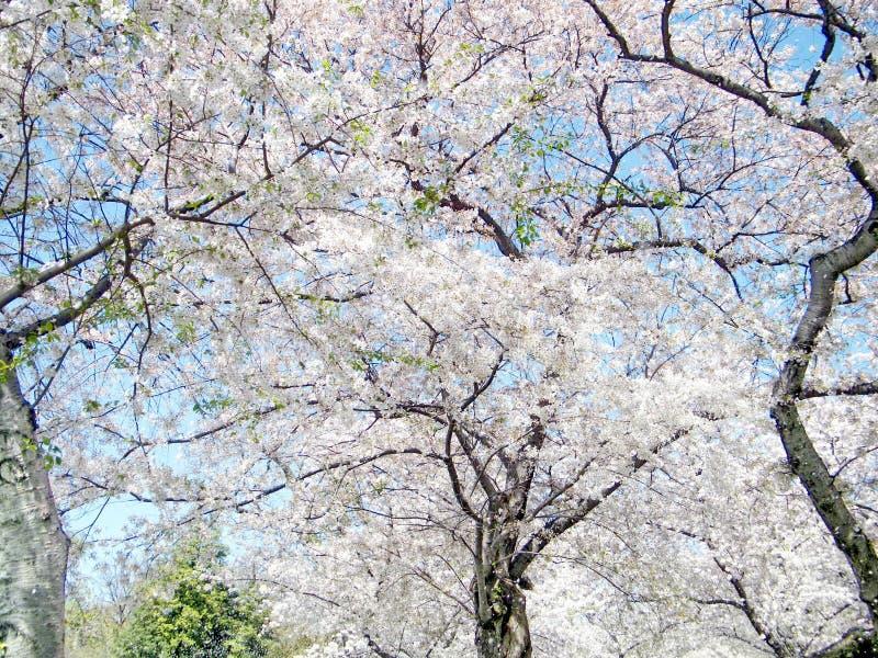Waszyngtoński duży czereśniowy okwitnięcie drzewny Kwiecień 2010 zdjęcie stock