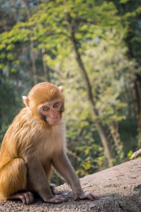 wat för stående för apa för angkorcambodia macaque royaltyfri bild
